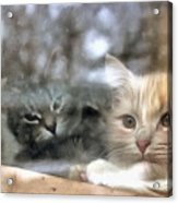 Lonely Kittens Behind The Glass Acrylic Print