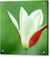 Lonely Lady Tulip Acrylic Print