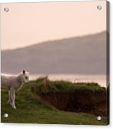 Lonely Little Lamb Acrylic Print