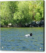 Lonely Loon Taking The Red Eye Acrylic Print