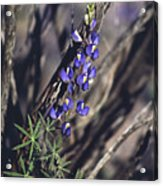 Lonely Lupine Acrylic Print