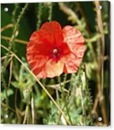 Lonesome Red Poppy Flower Acrylic Print