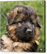 Long Coated Puppy Acrylic Print