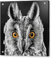 Long Eared Owl 2 Acrylic Print