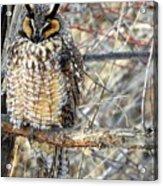Long Eared Owl Resting Acrylic Print