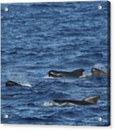 Long-finned Pilot Whales Acrylic Print