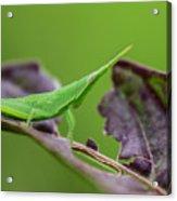 Long Grasshopper Acrylic Print