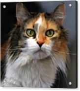 Long Haired Calico Cat Acrylic Print