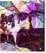 Long Haired Chihuahua Dog Pet  Acrylic Print