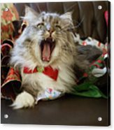 Long Haired Grey And White A Cat Yawns Amid Christmas Wrapping Paper Acrylic Print