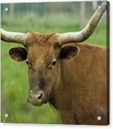 Long Horn Cow Acrylic Print