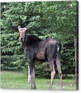 Long Legged Moose Acrylic Print