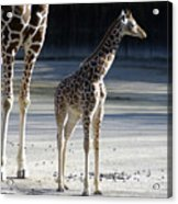 Long Legs - Giraffe Acrylic Print