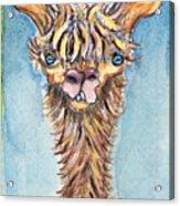 Long Neck Alpaca Acrylic Print