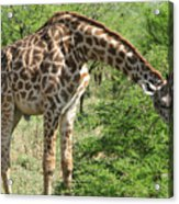 Long Neck Acrylic Print