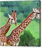 Long Necked Giraffes 2 Acrylic Print