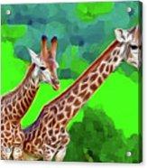 Long Necked Giraffes 3 Acrylic Print