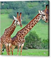 Long Necks Together Acrylic Print