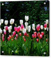 Long Stem Tulips Acrylic Print