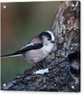 Long-tailed Tit Acrylic Print