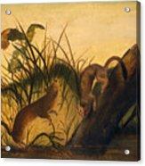 Long - Tailed Weasel Acrylic Print