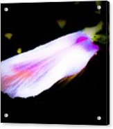 Long Unopened Hibiscus Flower Acrylic Print