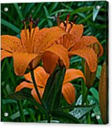 Long Valley Lily Acrylic Print