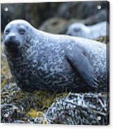 Long Whiskers On A Harbor Seal Acrylic Print