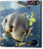 Longfin Batfish Acrylic Print