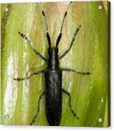 Longhorn Beetle Acrylic Print