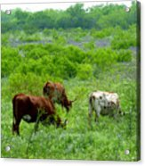 Longhorns - Grazing In The Wilds Acrylic Print