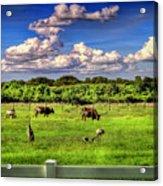 Longhorns At The Ranch Acrylic Print