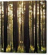 Longleaf Pine Forest Acrylic Print