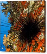 Longspined Sea Urchin Acrylic Print