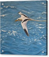 Longtail Over Water Acrylic Print