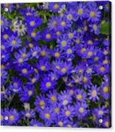 Longwood Hybrid Cineraria Acrylic Print