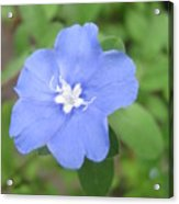 Lonly Blue Flower Acrylic Print