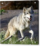 Lonly Wolf Acrylic Print