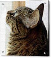 Look Out Window Tabby Cat Acrylic Print