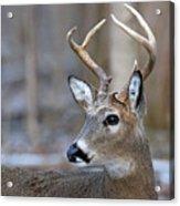 Looking Back Whitetail Deer Acrylic Print