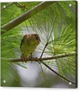 Looking Down - Common Sparrow - Passer Domesticus Acrylic Print
