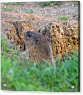 Looking For Intruders Acrylic Print