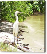 Looking For Lunch Gp Acrylic Print