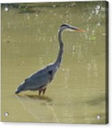Looking For Lunch  Two Acrylic Print