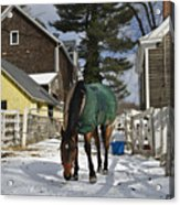Looking For Stray Hay Acrylic Print