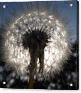 Looking Through A Dandelion Acrylic Print