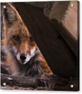 Looking Through The Woodpile Acrylic Print