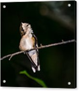 Looking Up - Hummingbird Acrylic Print