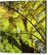 Looking Up To A Beautiful Sunglowing Fern In A Tropical Forest Acrylic Print