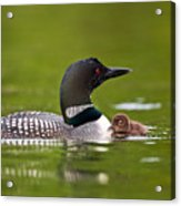 Loon And Chick Acrylic Print by Brandon Broderick